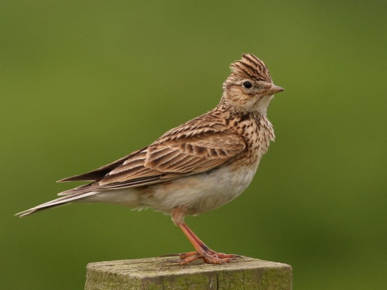 """to a skylark analysis Analysis of """"ode to a nightingale"""" and """"to a skylark"""" """"to a sklyark"""", and """"ode to a nightingale"""" 19th century english romanticism poems written by percy shelley and john keats."""